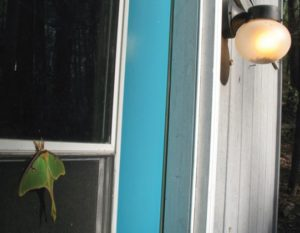LUNA-MOTH-LIGHT-IMG_4740adjtrimARTICLE-541x420